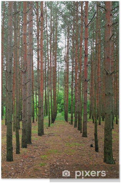 Plakat Posadzone Sosny Las Drzewo Rytmiczne Wiersze
