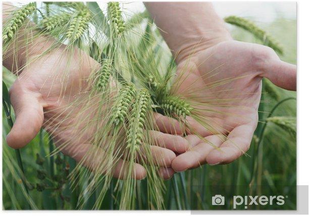 Plakat Pre-dojrzewające żyto - Rolnictwo