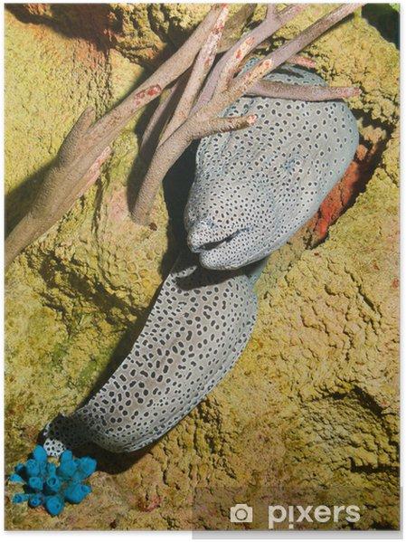 Plakát Přichycena, plástev, tesselate muréna (Gymnothorax favagineus) - Vodní a mořský život