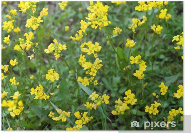 Plakát Pryskyřník (Ranunculus) - Květiny