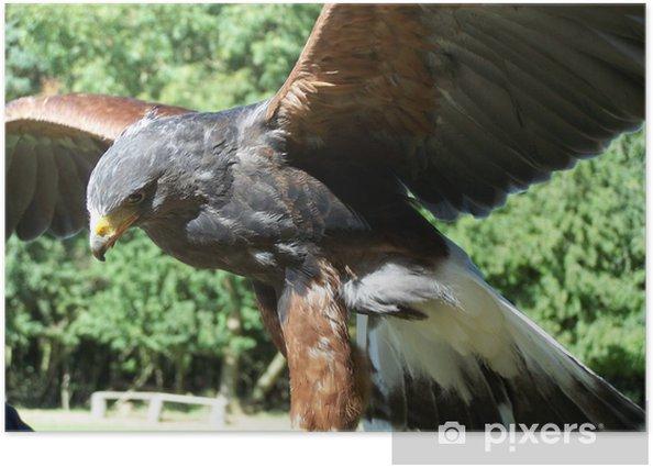 Plakat Ptak drapieżny myśliwego, Harris Hawk - Religie