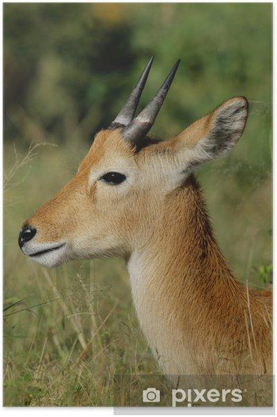 Plakat Puku antylopy (Kobus vardonii) - Ssaki