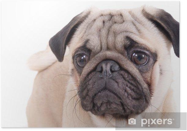 Plakat Puppy mops - Ssaki