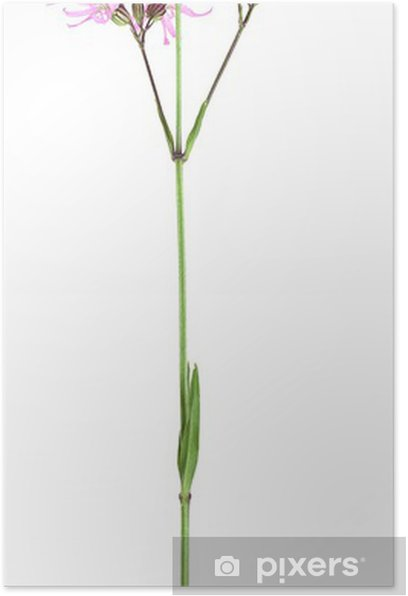 Plakat Ragged robin, Lychnis flos-cuculi na białym tle - Kwiaty