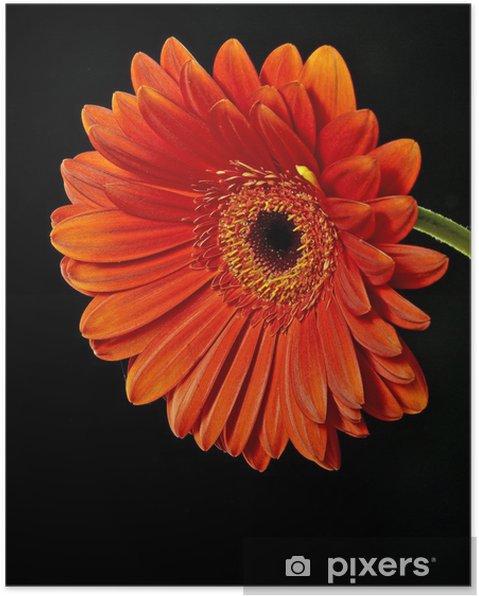 Plakát Red gerber na černém - Květiny