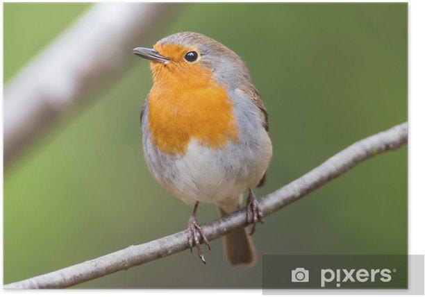 Plakat Red Robin na oddział bardzo blisko i szczegółowa - Ptaki