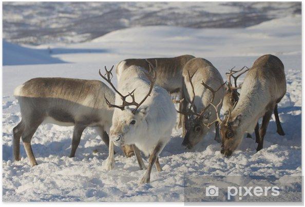 Plakat Renifery W środowisku Naturalnym W Regionie Troms Północna
