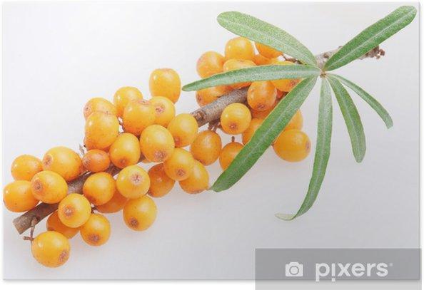 Plakat Rokitnik zwyczajny na białym tle - Owoce