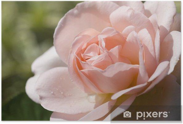 "Plakat Rose ""Lilian"" - Tematy"