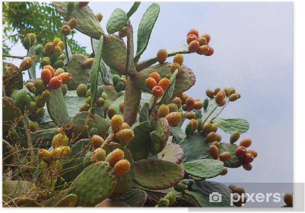 Plakat Roślina Opuntia ficus-indica - Rośliny