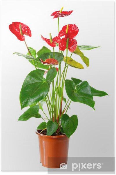 Plakát Rostlina Anthurium květin v květináči na bílém - Květiny