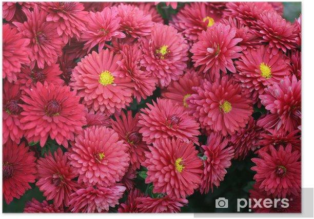 Plakat Różowe chryzantemy - Kwiaty