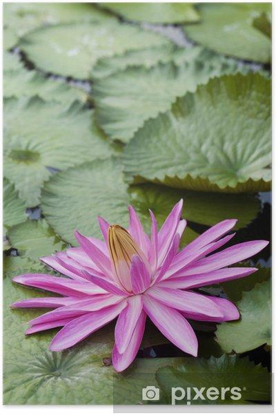 Plakat Różowy kwiat lotosu - Kwiaty