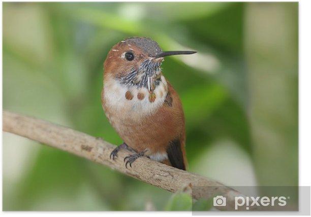 Plakat Rufous Hummingbird (Selasphorus rufus) - Ptaki