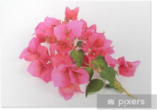 Plakát Růžová Bougainvillea - Květiny