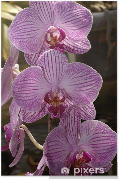Plakát Růžové pruhované orchideje - Témata