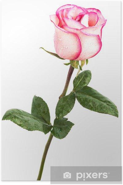 Plakát Růžové růže - Témata