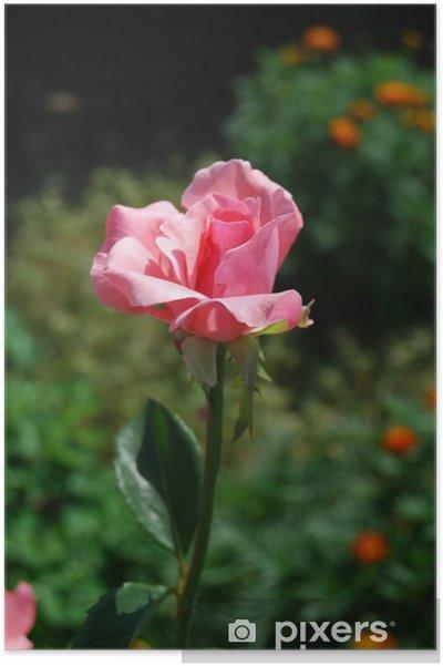 Plakát Růžové růže - Domov a zahrada
