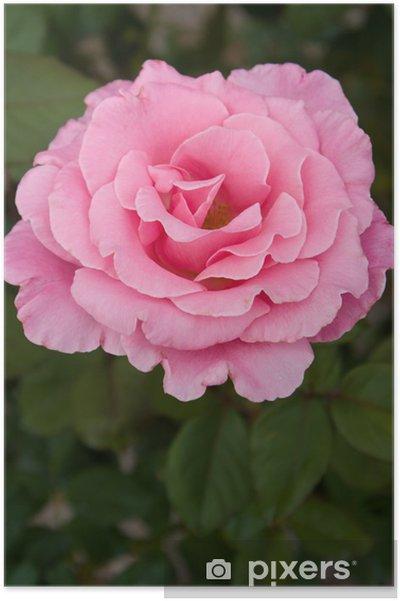 Plakát Růžové růže - Květiny