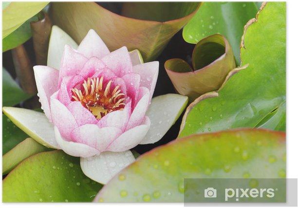 Plakát Růžový lotos kvetoucí v tropické zahradě - Květiny