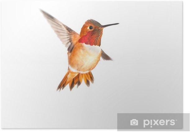 Plakat Ryży Koliber - Mężczyzna. Białe tło - Ptaki