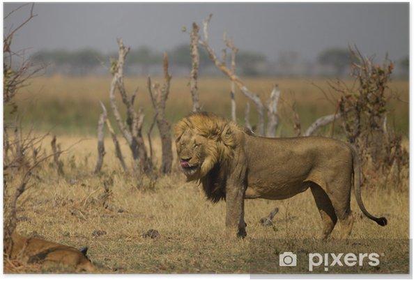 Plakat Samiec lwa oblizując - Afryka