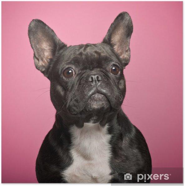 Plakat samoprzylepny Buldog francuski, 3 lat, na różowym tle - Buldogi francuskie