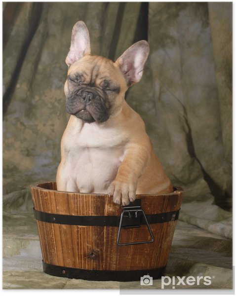 Plakat samoprzylepny Cute puppy - Buldogi francuskie