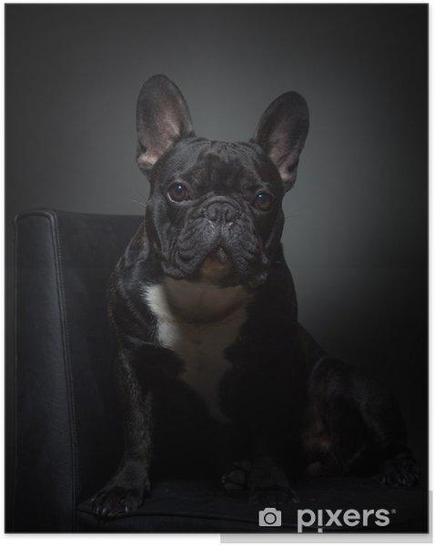Plakat samoprzylepny Ładny czarny francuski buldog pozuje do kamery na krześle - Buldogi francuskie