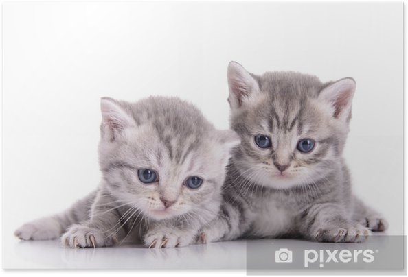 Plakat samoprzylepny Małe kocięta szkockie - iStaging