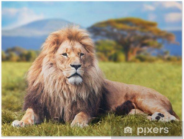 Plakat samoprzylepny Wielki lew leżący na sawannie trawie. Kenia, Afryka - Tematy