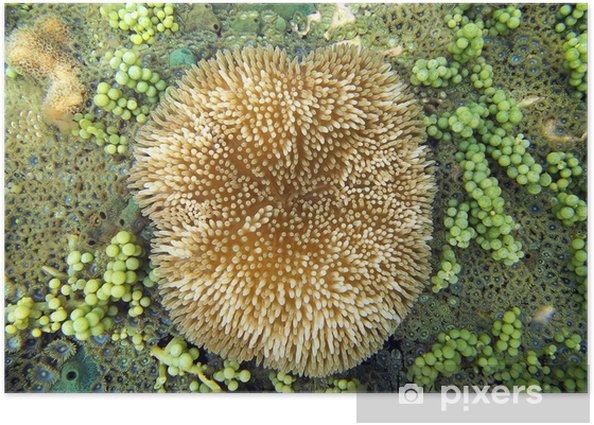 Plakát Sasanka Stichodactyla slunečnice - Vodní a mořský život
