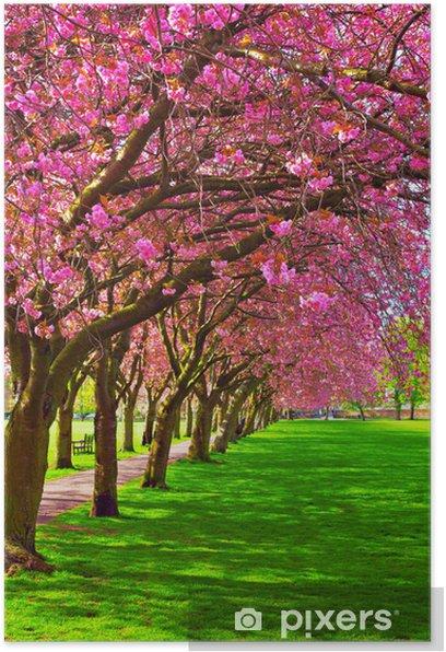 Plakat Ścieżka spacer w otoczeniu kwitnących śliw - Tematy