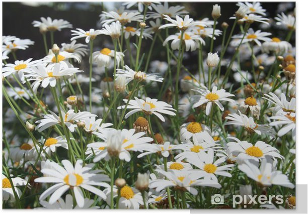 Plakát Sedmikrásky zblízka - Květiny