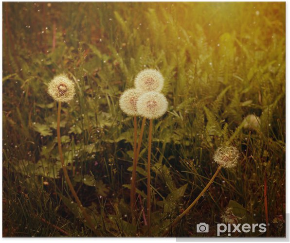 Plakát Semena pampeliška - Květiny