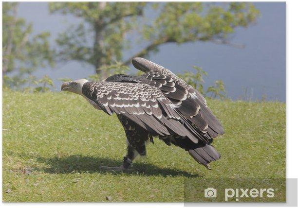 Plakat Sęp płowy - Ptaki