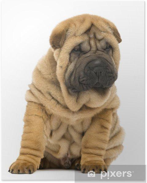 Plakat Shar pei pies siedzi i patrzy w dół (11 tygodni) - Ssaki
