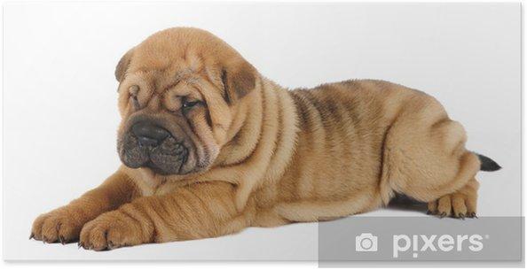 Plakát Shar pei štěně v ateliéru - Savci