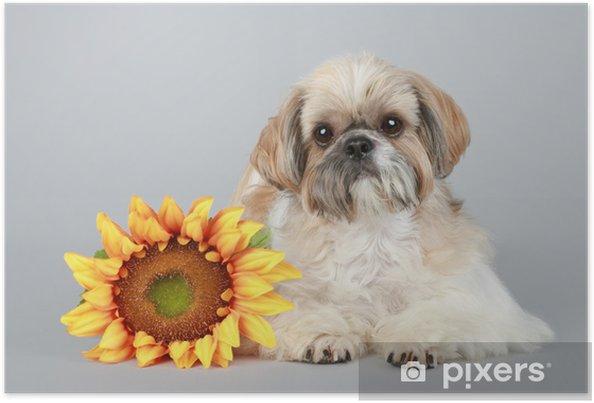 Plakat Shih Tzu Dog z słonecznika - Ssaki