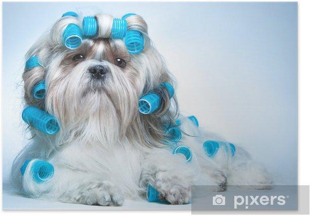 Plakat Shih Tzu Dog - Tematy