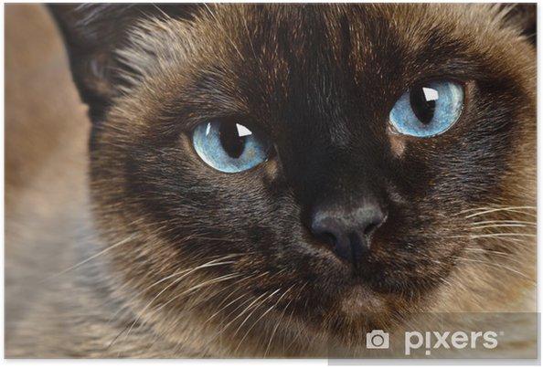 Plakat Siamese cat bliska - Tematy