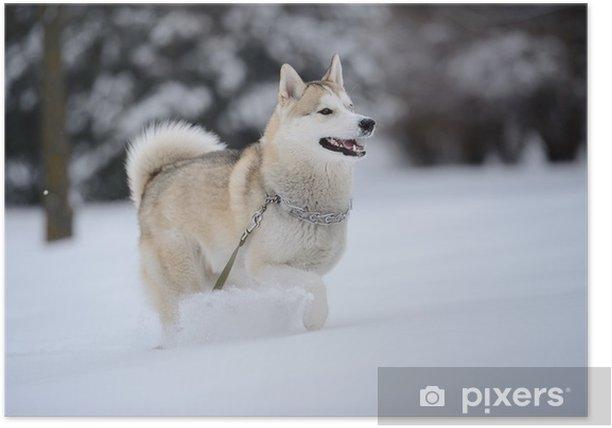 Plakát Sibiřský husky pes ve sněhu - Savci