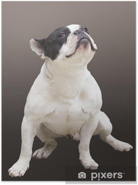 Plakat Siedząc Buldog francuski pies rasy na brązowym tle - Buldogi francuskie