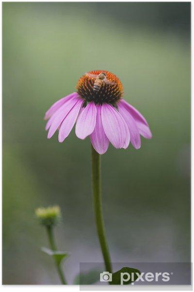 Plakat Single Jeżówka purpurowa - Kwiaty
