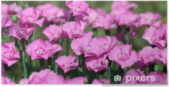 Plakát Široký fotografie hvozdík Dianthus Alpinus elektrárny - Květiny