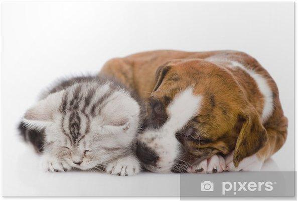 Plakát Skotský kotě a štěně spí spolu. izolovaných na bílém - Savci