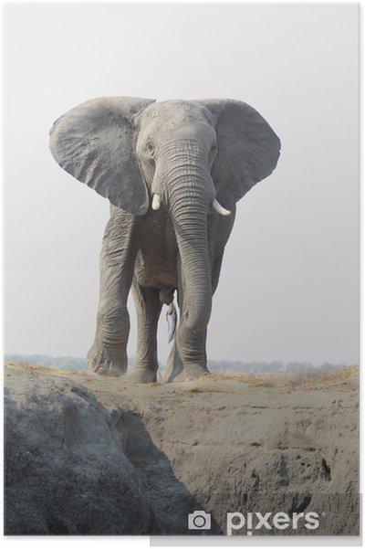 Plakát Slon africký přichází k fotografa - Savci