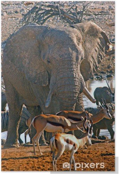 Plakat Słoń afrykański - Ssaki