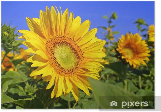 Plakat Słoneczniki na polu z niebieskim tle nieba - Pory roku