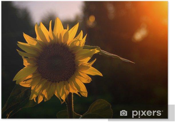 Plakat Słoneczniki w słońcu - Nasiona